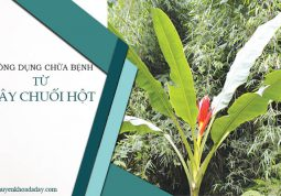 Công dụng chữa bệnh từ cây chuối hột