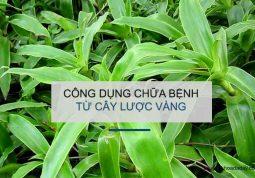 Cây lược vàng - Thần dược chữa bách bệnh